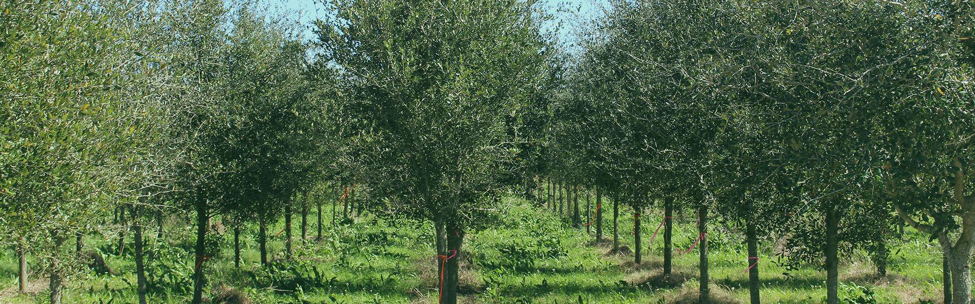Live Oak Tree Farm Houston TX
