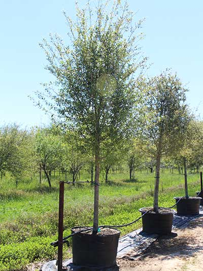 45 gal bucket live oak tree