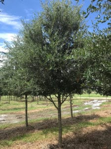 We Grow Plant Transplant Large Live Oak Trees Ve Been Growing For Over 35 Years And Have 20k Across 73 Acres