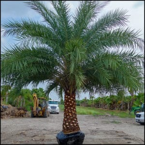 Sylvestris Palm