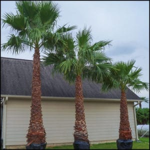 Washingtonia Filibusta